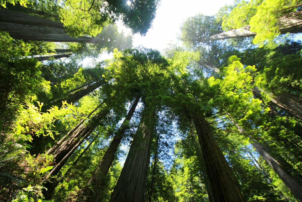 coastal-redwood-trees-of-armstrong-national-forest-northern-california