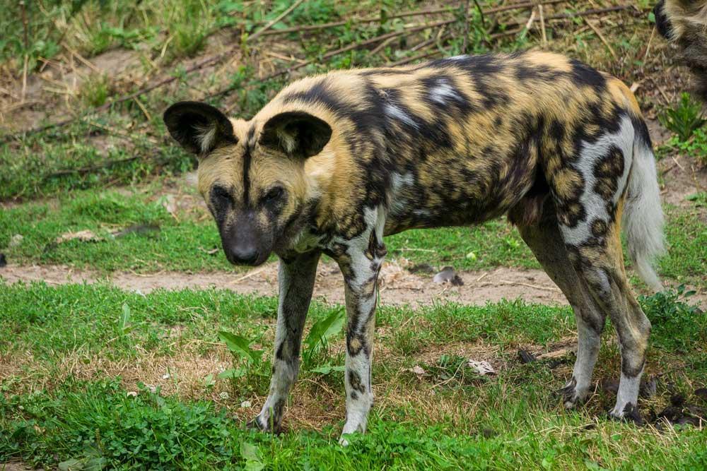 hyena-at-safari-west-in-sonoma-county
